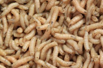 Hetlozevissertje Maden 1/4L (enkel afhaling) wit levend aas
