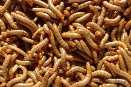Hetlozevissertje Meelwormen 1/2L (enkel afhaling) bruin levend aas